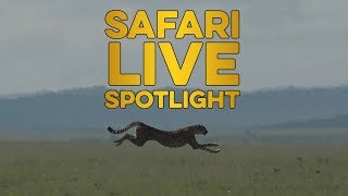 The Need for Speed: A closer look at the cheetah. thumbnail