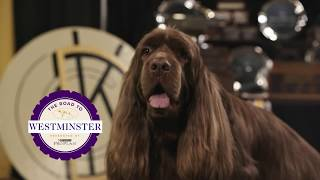 Road to Westminster (RTW): Bean, The Sussex Spaniel