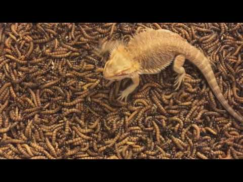2000 Superworm unboxing/Bearded dragon feeding freenzy!