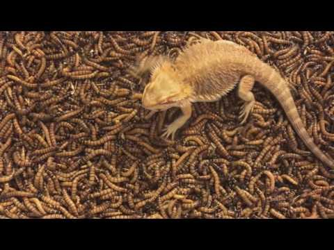 2000 Superworm unboxing/Bearded dragon feeding freenzy!