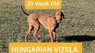 Hungarian Vizsla. Best Dog Breed Ever?