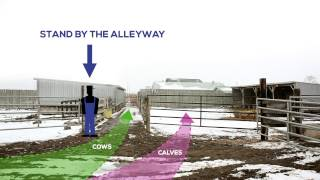 Efficient And Novel Method For Sorting Cow-calf Pairs