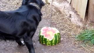Прикол. Собака ест арбуз и закусывает картошкой!