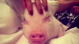 Baby pig gets a head massage. Masaje de cabeza a un cerdito. ASMR.