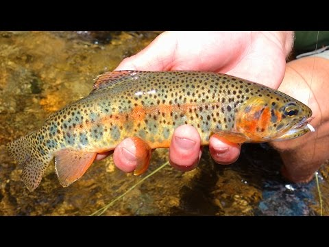 Fly Fishing Colorado Cutthroat Trout Small Creeks