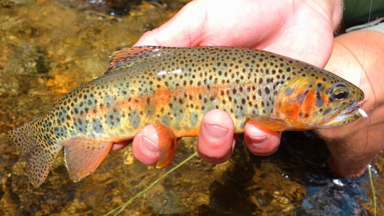 Fly fishing colorado cutthroat trout small creeks youtube for Colorado trout fishing
