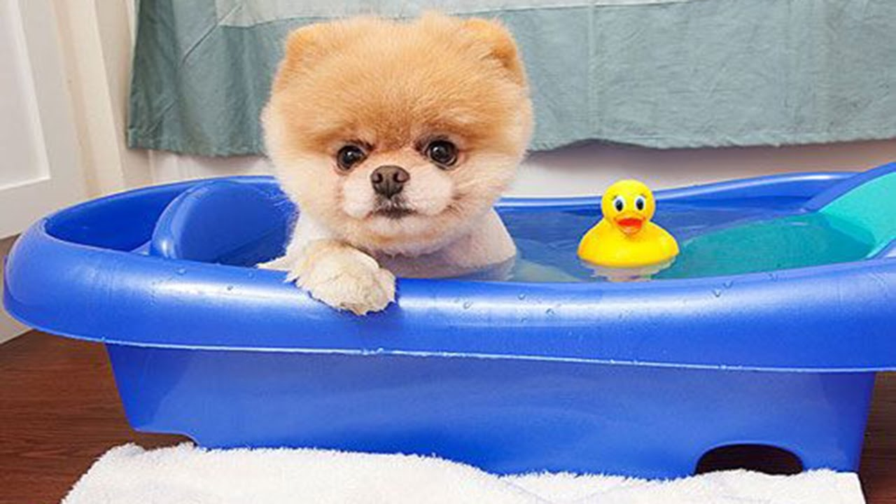 Boo The World S Cutest Dog Video Compilation Pomeranian Puppies