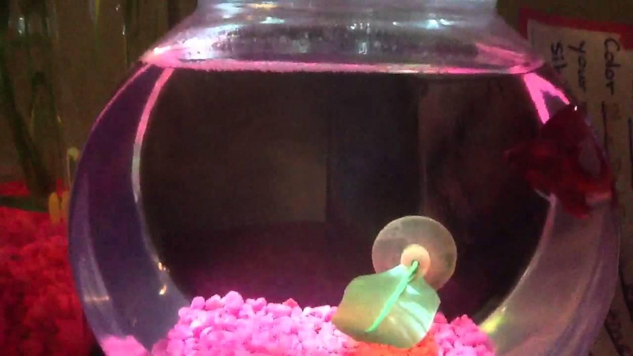 Half moon double tail betta fish - YouTube
