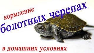 Все о домашних животных: Кормление болотных черепах в домашних условиях - МОТЫЛЬ!!!