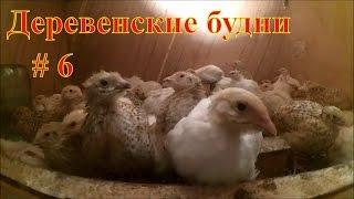 Деревенские будни #6  / Резкое похолодание / Перепелам 2 недели