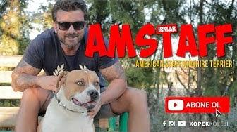 Köpek Irkları - Amerikan Staffordshire Terrieri (AMSTAFF)