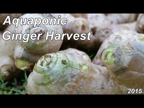 Aquaponic Ginger Harvest For 2015.