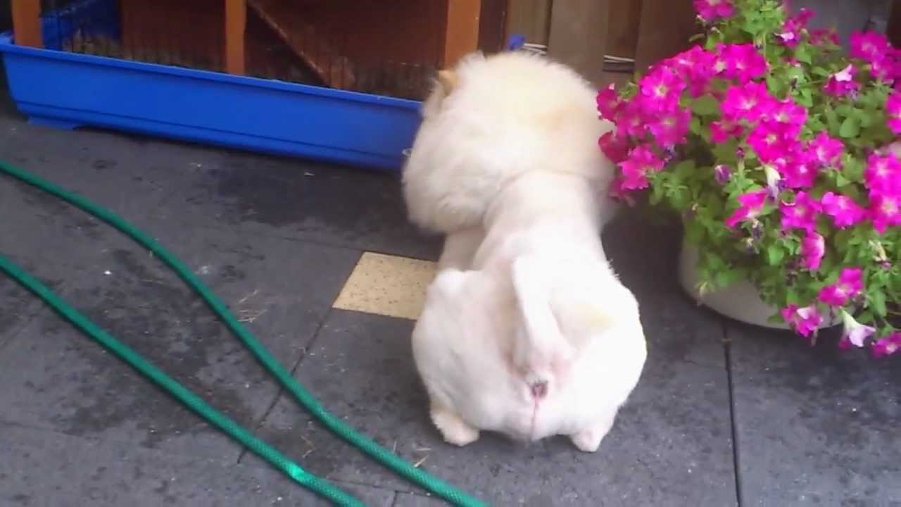 Chow Chow Lion Cut Ace Rabbit Youtube