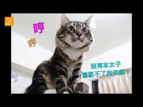 緬因貓mainecoon 潘塔下樓梯 溫柔巨人的床鋪 Rami‧插畫‧閣樓日記