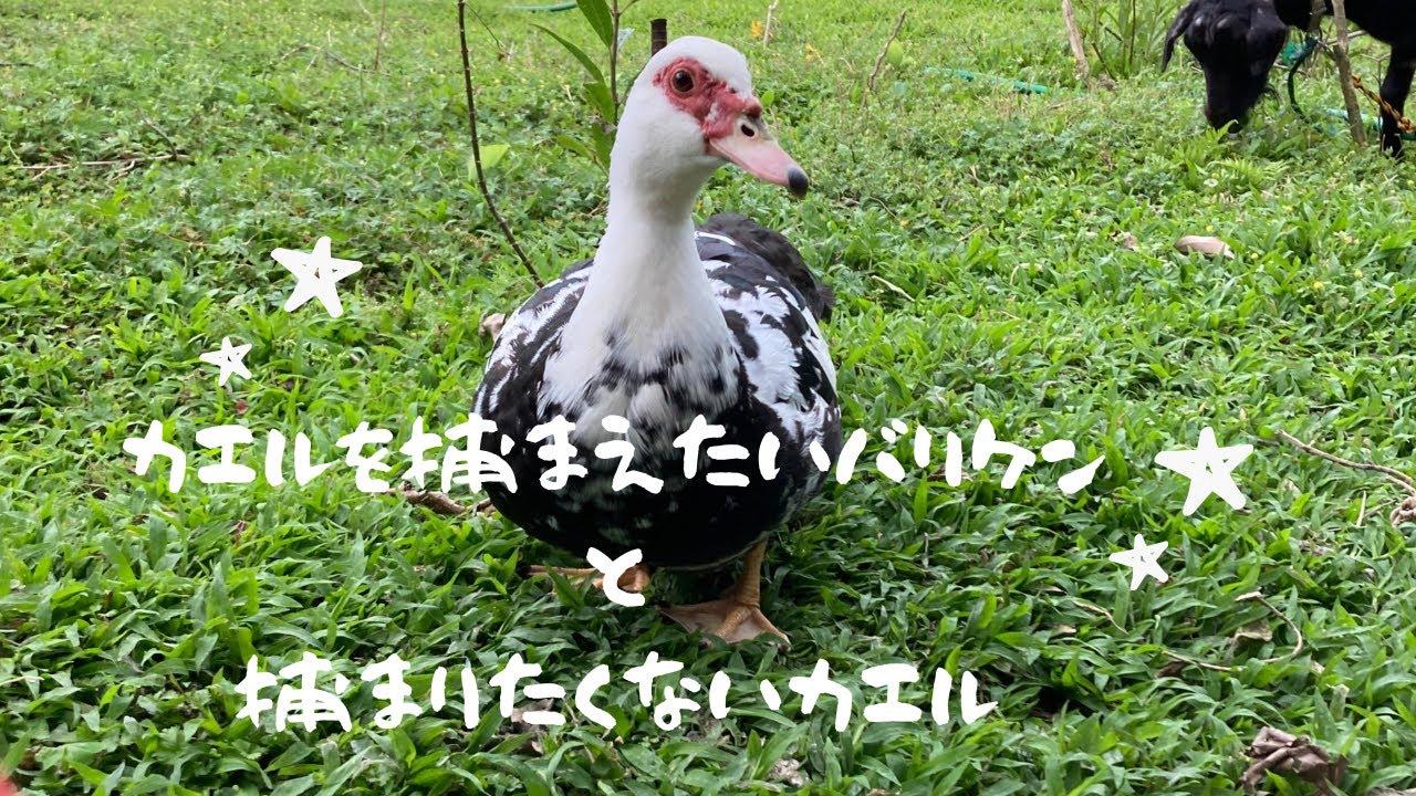 カエルを捕まえたいバリケン〜沖縄アヒル〜最後まで見てね! Okinawan duck try to catch a flog...