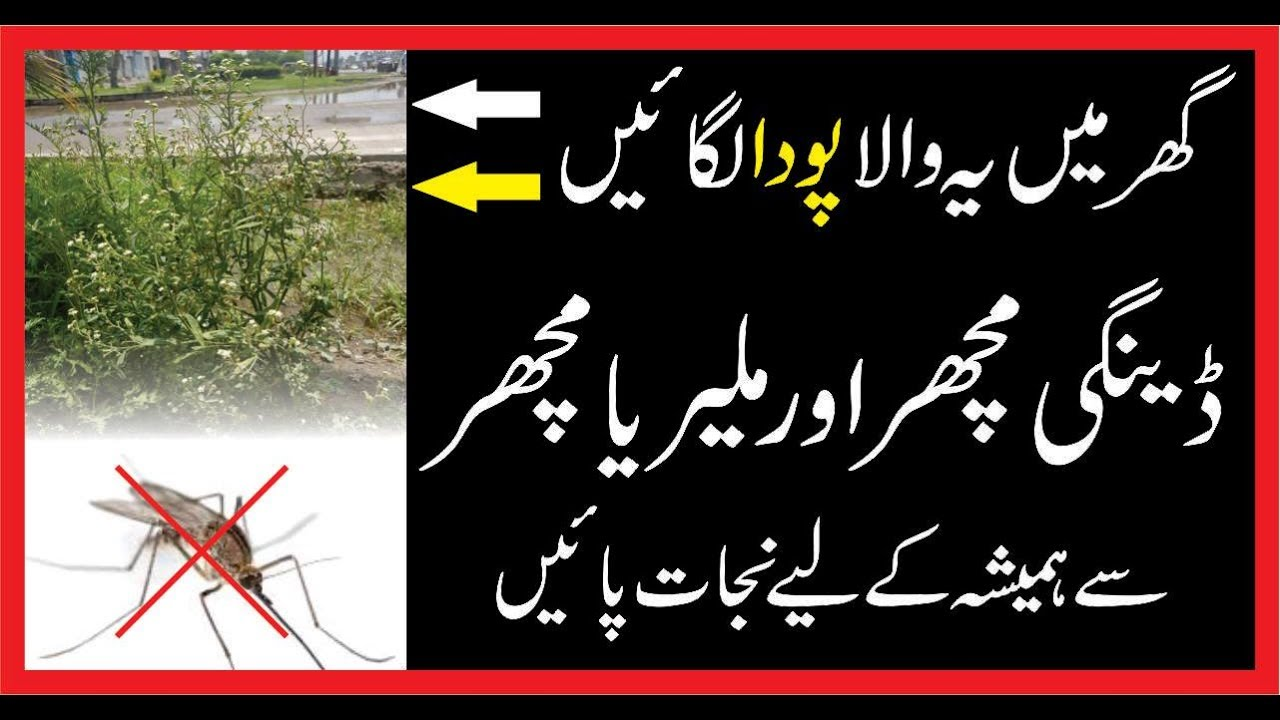 dengue machar malaria in urdu malaria and dengue sy bacaho  dengue machar malaria in urdu malaria and dengue sy bacaho