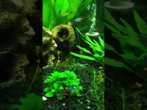 Flying Fox Fish Great Algae Eaters Vid