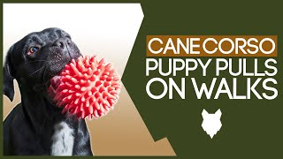 How To STOP Your Cane Corso Pulling On Walks! Perfect Heel Training!