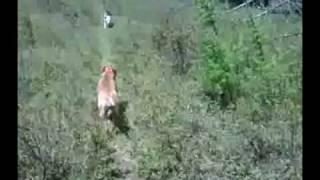The Dog Guru, Inc Video Iii Advanced Obedience And Socialization