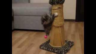 Курильский бобтейл - короткохвостая порода кошек