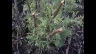 видео Божье дерево: выращивание, уход, фото