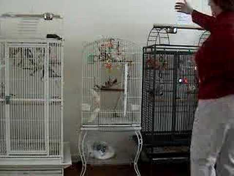 Trained Zebra Finches - YouTube
