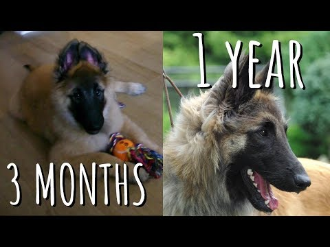PUPPY TO ADULT (3 months to 1 year) | Belgian Shepherd Tervuren