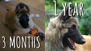 Mira cómo mi cachorro se convierte en adulto (3 meses a 1 año) | Pastor Belga Tervueren