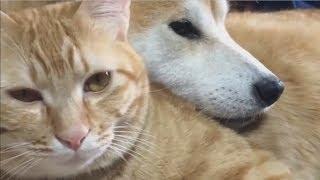 Япония. Пёс породы сиба- ину и рыжий кот никогда не расстаются