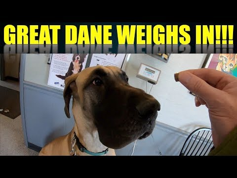 FINN THE GREAT DANE WEIGHS IN AT THE VET