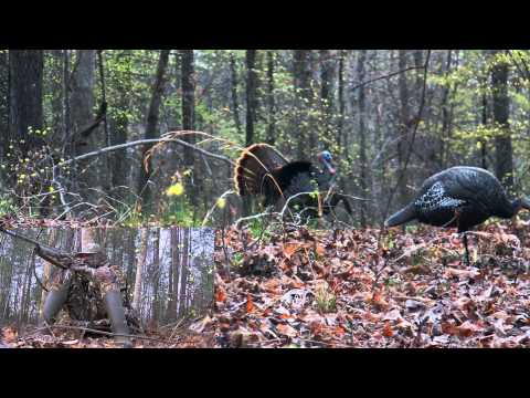 Bigfoot Music and Outdoors Promo Turkey Hunt with Jason Coley
