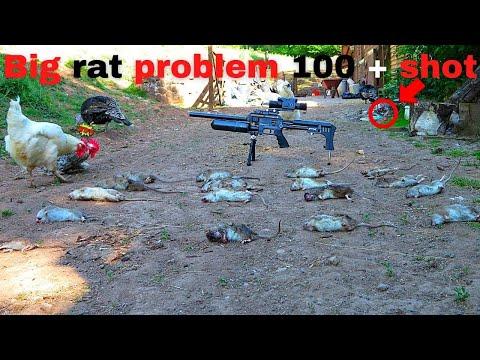 shooting huge rats
