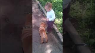 Собаководство и кинология. Дрессировка Шар-Пей. Выгуливание щенка Шарпей ребенком и уход за ним 2017