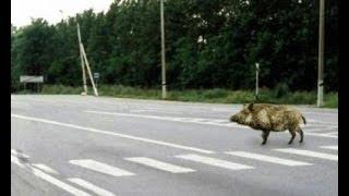 Подборка ДТП с животными