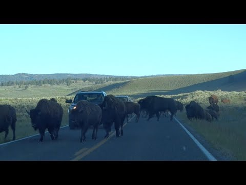 The Road To Yellowstone Part 4. Wolves, Bison, and The Grand Canyon Of The Yellowstone