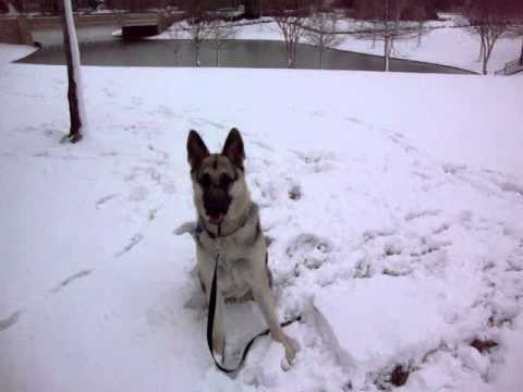 german shepherd Rocky playing in the snow in frisco tx 2011 020.MPG