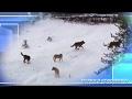 Волки в Красавино