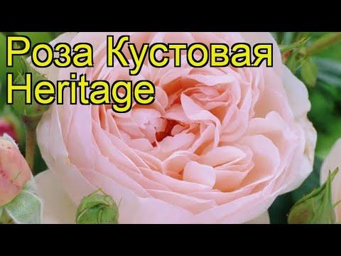 Роза кустовая Наследие (Heritage). Краткий обзор, описание характеристик, где купить саженцы