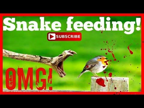 FEEDING SNAKES! SCALELESS SNAKE! (PART 1) SerpentSityExotics