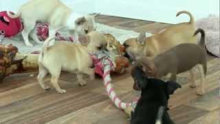 Chihuahua World Puppies