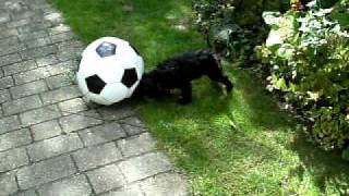Spoodle Puppy Mabel Playing Football