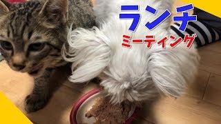 マルチーズの子犬と新入り子猫のランチタイムミーティング。犬猫情報交...