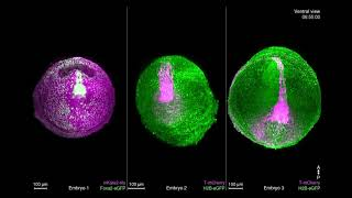 Dynamic In Toto Imaging of Post-Implantation Development / Cell Oct. 11, 2018 (Vol 175, Issue 3)