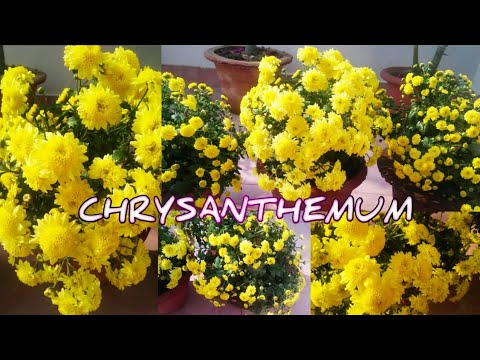 CHRYSANTHEMUM - CARE AND TIPS FOR HEAVY BLOOMING 🌼🌼