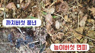 섭이의 산 이야기-능이버섯 첫점검 산행-면피했네요.대신…