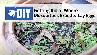 Getting Rid of Where Mosquitoes Breed and Lay Eggs