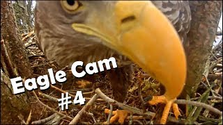 Eagle Cam #4 - Baron Blue - White Tailed Eagles Nest Live