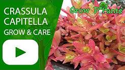 Crassula capitella - grow & care  (Campfire)