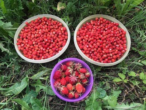 Земляника и клубника в лесу! Хороший урожай ягоды собрал! Трудовая лесная ягода! Собирал в жару!