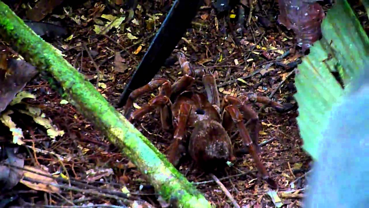 Bird Eating Spider In The Brazilian Rainforest - YouTube  Bird Eating Spi...